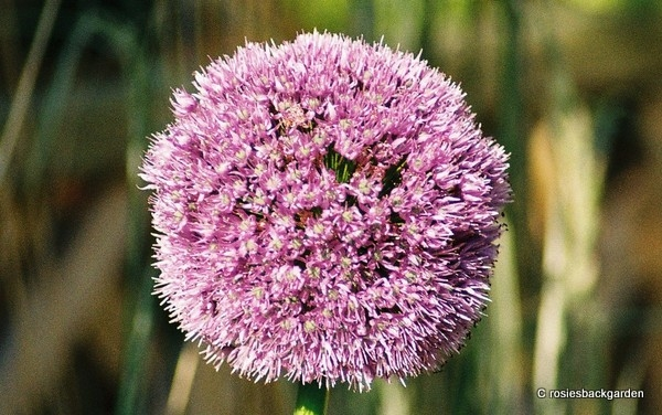 Allium (various)